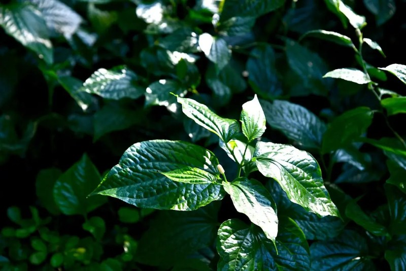 lolot leaves