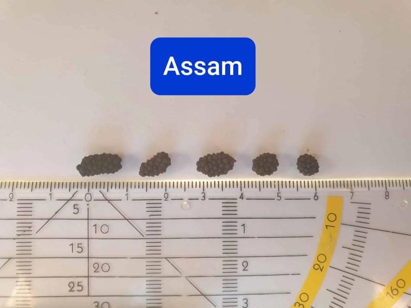 Assam pepper