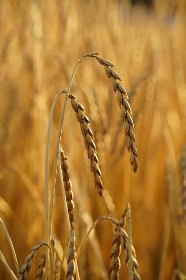 Spelt crop (Dinkel)