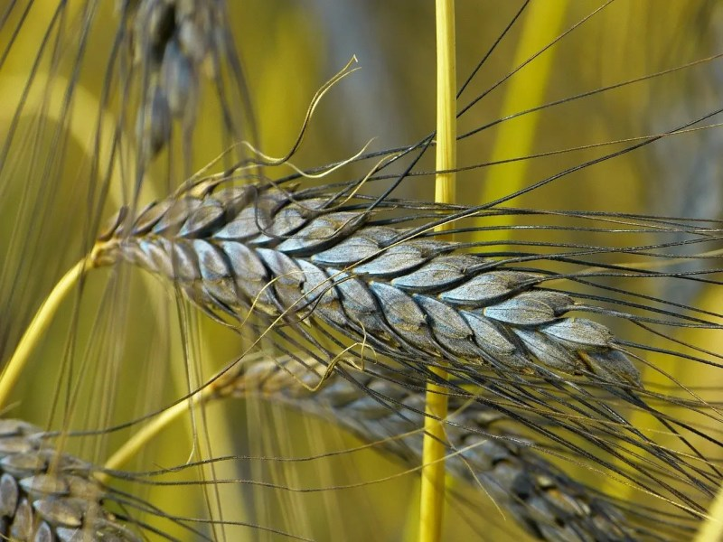 Emmer is an ancient wheat variety