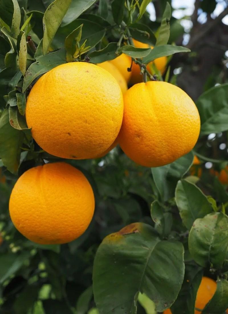 Oranges are rich in Vitamin C
