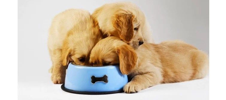 three hungry golden retriever puppies sharing a food bowl
