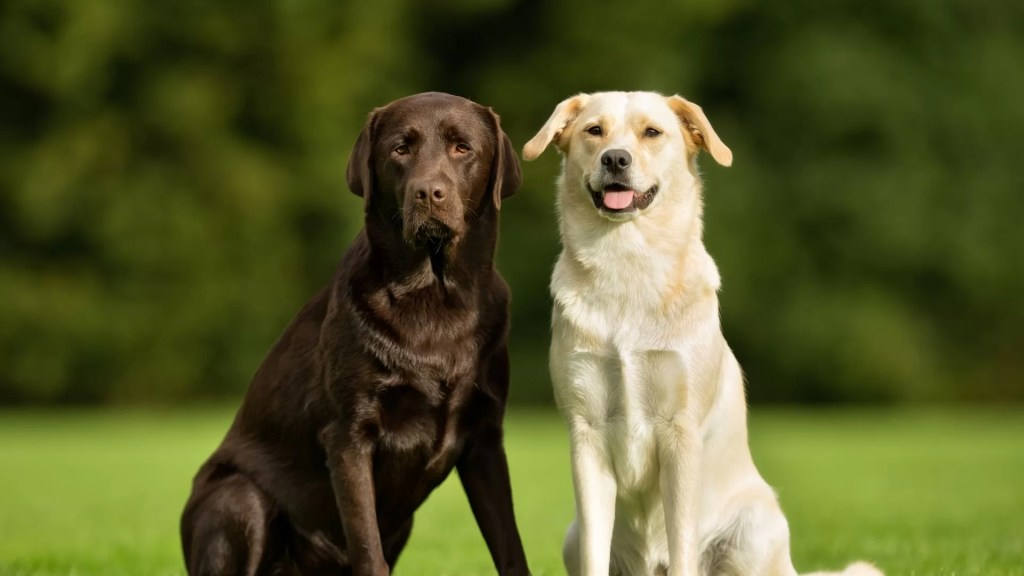 Golden retriever vs labrador. Two labradors sitting in a field. One is a dark black and the other is a light cream.
