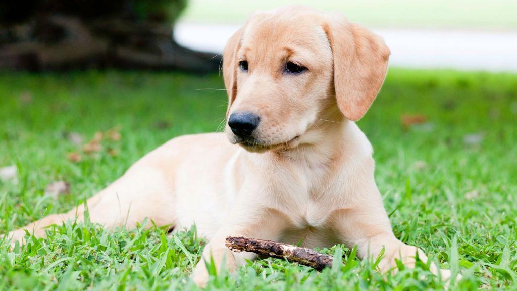Golden retriever vs labrador. Light colored labrador puppy sitting on the grass with a stick.