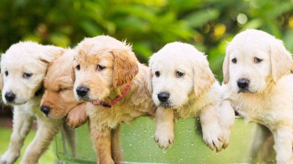 Male vs. female golden retriever puppies. 5 golden retriever puppies in a basket.
