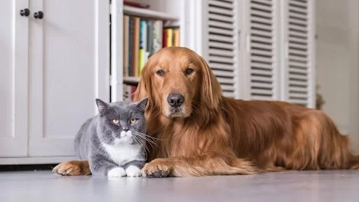 The Canadian type of golden retriever laying with a cat