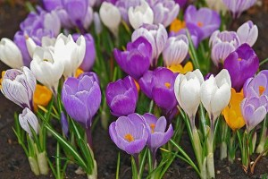 flowers_crocuses-02