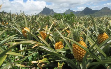 hoe groeit ons eten - ananas