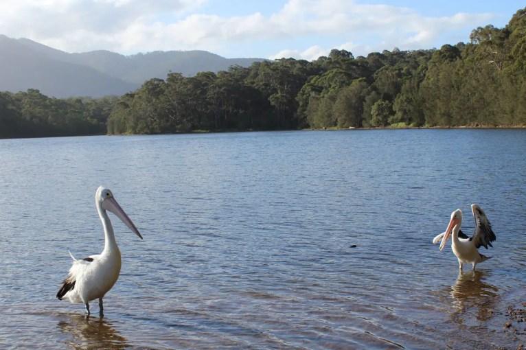 Diese Pelikane haben wir am Lake Illawarra entdeckt