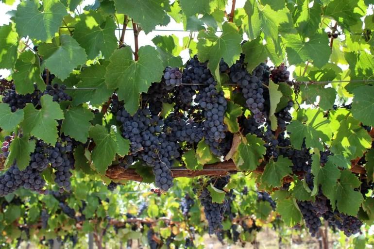 Weintrauben im Barossa Valley