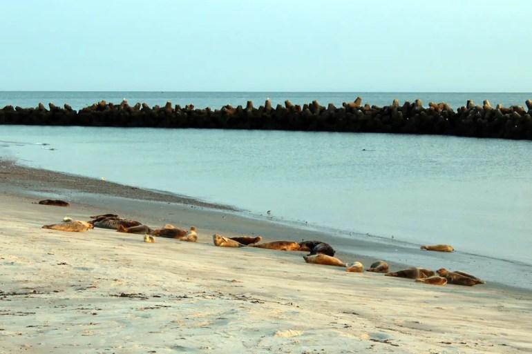 Am Südstrand der Helgoländer Düne tummeln sich Kegelrobben und Seehunde