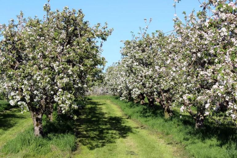 Richtige Apfelbäume sind im Alten Land heute eher selten