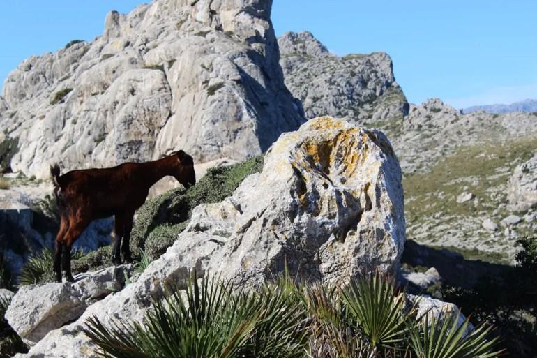 Am Cap de Formentor sind zahlreiche Ziegen unterwegs