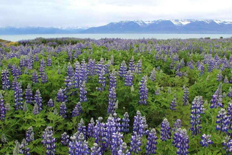 Im Sommer blühen im ganzen Land die Lupinen