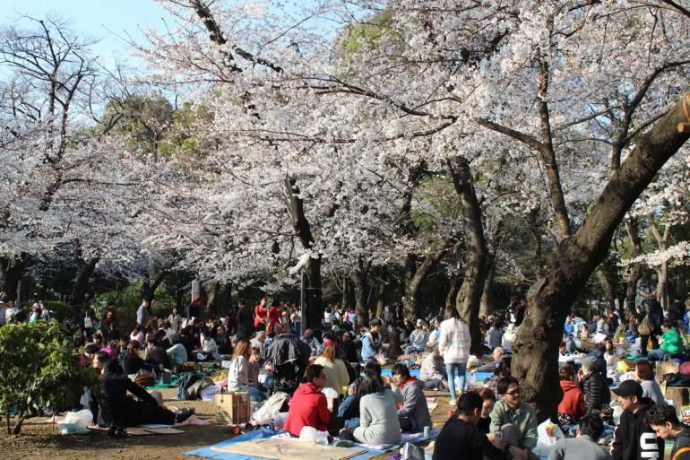 Während der Kirschblüte picknicken die Japaner im Park unter den Kirschbäumen