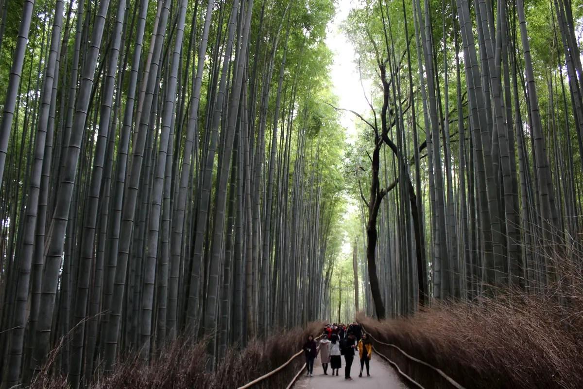 Beeindruckend: der Bambuswald in Arashiyama