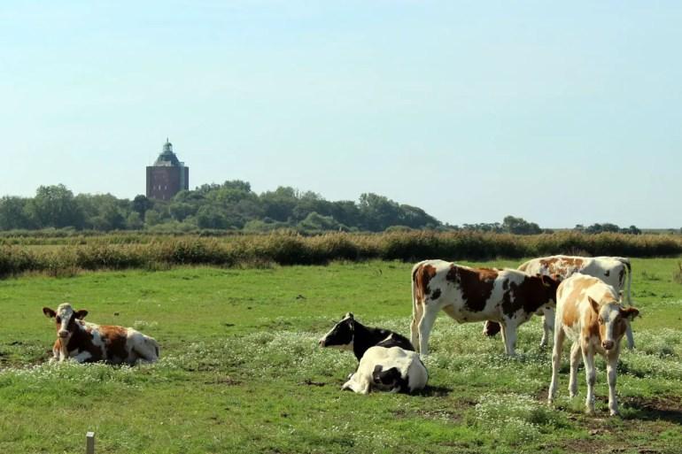 Leuchtturm mit Kühen - ein typisches Bild auf Neuwerk