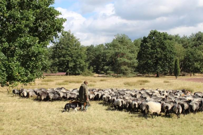 Der Schäfer zieht mit seiner Herde weiter