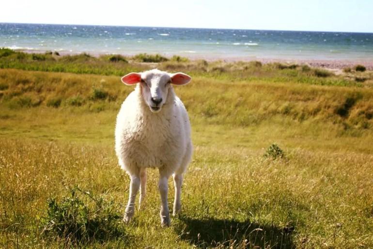 Auf Fehmarns Deichen begegnen dir immer wieder neugierige Schafe