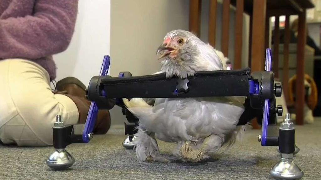 10-Year-Old Cries Fowl Over 'SNL' Spoof About Pet Chicken | KAMR