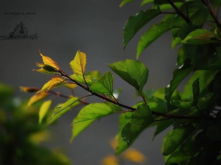 Aprikosträd
