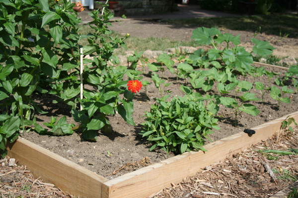 My Garden Update, August 2013 - myhumblekitchen.com