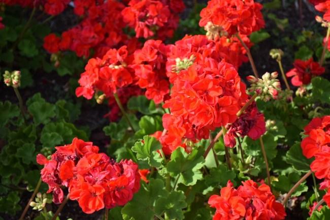 St. Petersburg Florida - Beautiful red flowers