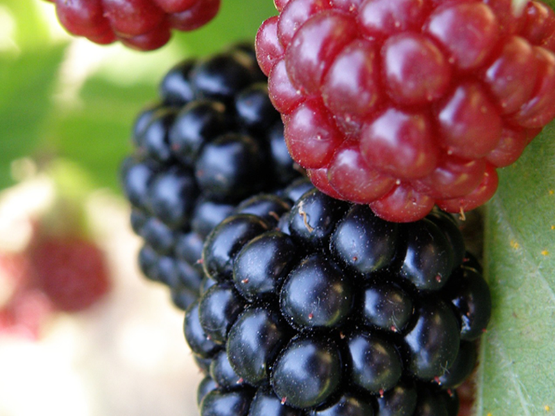 Blackberries for Weight Loss