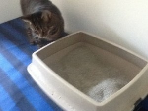 cat looks at Kitty litter box