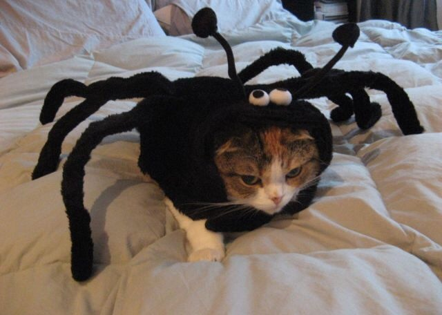 spidercat kitty halloween costume - Funny Cat Halloween