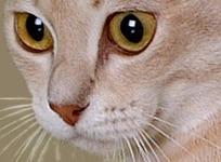 Australian mist cat eyes