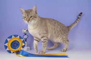 Australian mist cat winner