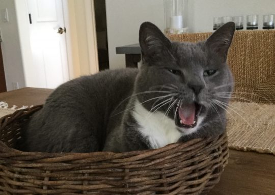 cat starts to yawn