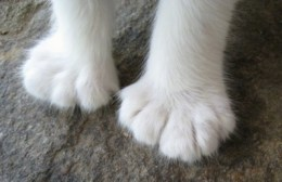 what is a polydactyl cat