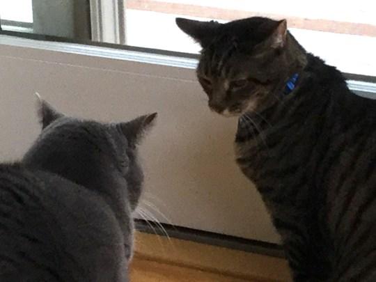 cats stare down