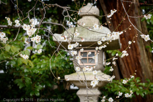 White plum flowers at the Kitano Tenmangu Shrine