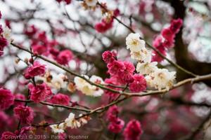 The dark pink and white flowers at the Kitano Tenmangu Plum garden