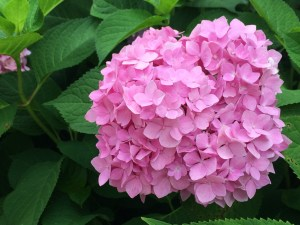 Photo of pink hydrangea