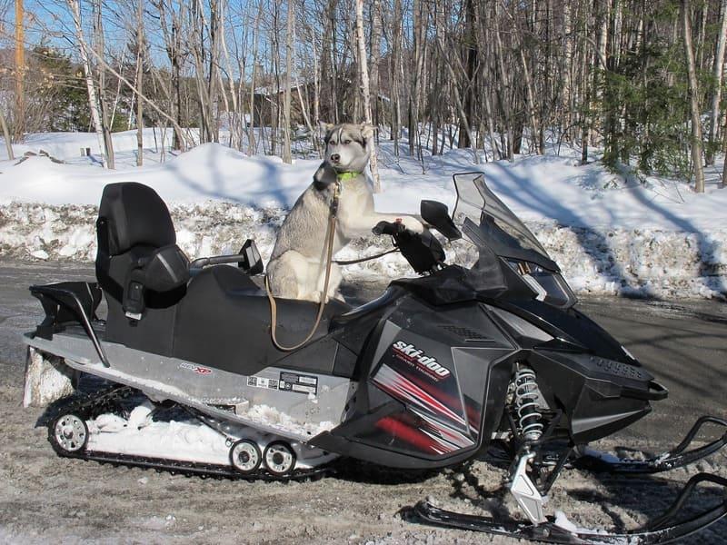 sentier motoneige - chien de traineau sur une motoneige