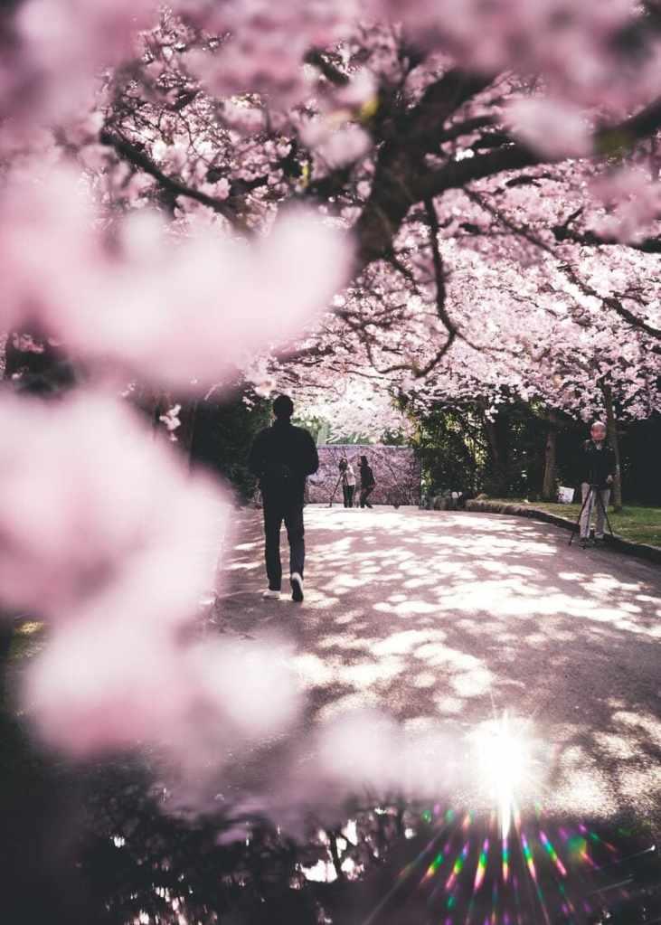 ou partir en avril - cerisier japonais japon