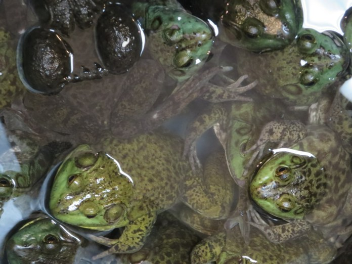"""Advertised as """"Field Chicken,"""" these frogs are sold for $5.19 each."""