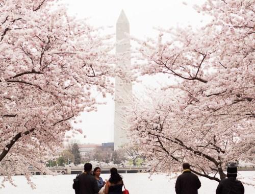 DC Cherry Blossoms 2016