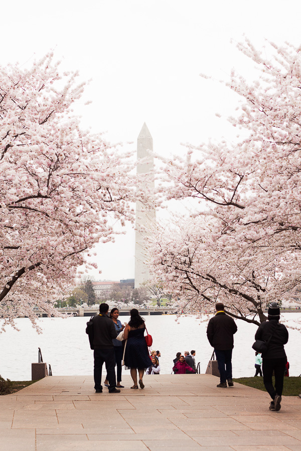 DC Cherry Blossoms 2016