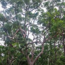 Blackbutt Reserve big tree