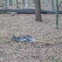 Blackbutt Reserve kangaroo lazy