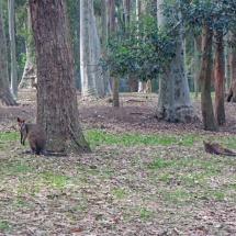 Blackbutt Reserve kangaroos