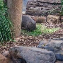 Blackbutt Reserve wombat