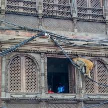 Kathmandu-Swayambhu monkeys