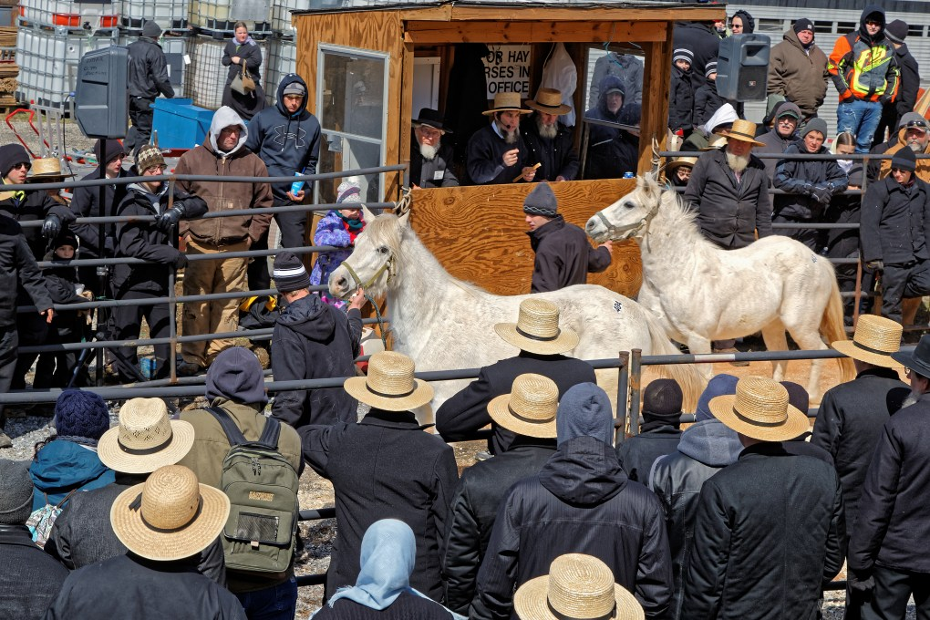 Horses being led in the ring by volunteers at the Amish Spring Auction in Pennsylvania. This annual event is locally known as the Amish Mud Sale. The auction numbers are on the rumps of the horses, and the horses most likely sold by the head since they each have a number. Photo: DelmasLehman / Shutterstock.com