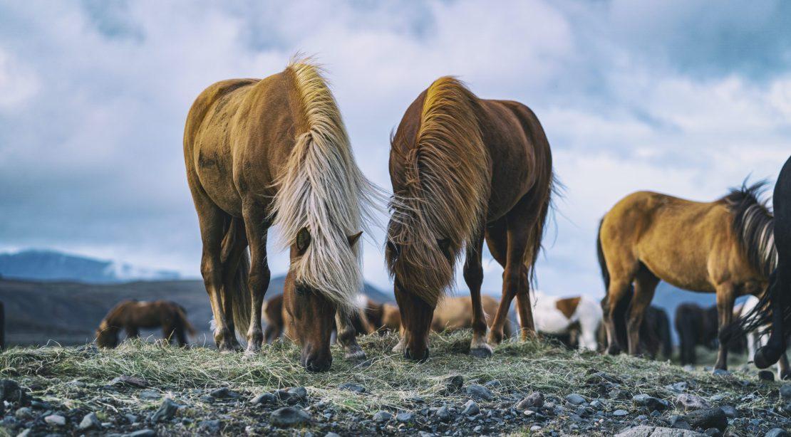 Icelandic horses eating hay